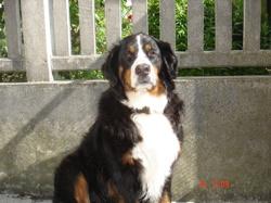 Domino, chien Bouvier bernois