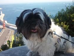 Domino, chien Shih Tzu