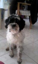 Domino, chien Terrier tibétain