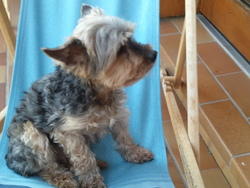 Domino, chien Yorkshire Terrier