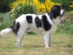 Domino , chien Landseer