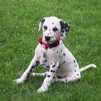 Domino, chien Dalmatien