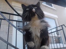 Domino , chat Gouttière