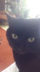 Domino, chat Européen