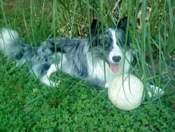 Domy, chien Border Collie