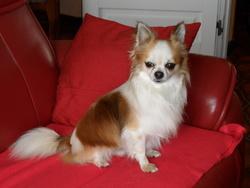 Don-Quichotte, chien Chihuahua