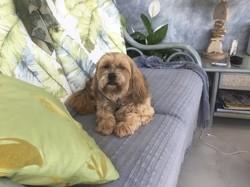 Dona, chien Lhassa Apso