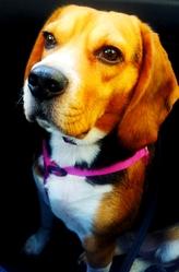 Dona, chien Beagle