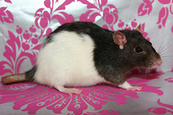Inc Donna, rongeur Rat