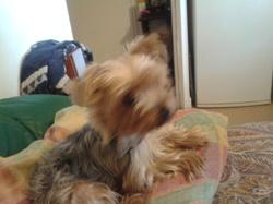 Donna, chien Yorkshire Terrier