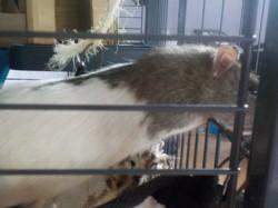 Donut, rongeur Rat