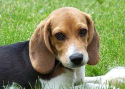 Donut, chien Beagle
