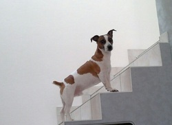 Donuts, chien Jack Russell Terrier