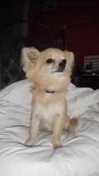 Donuts, chien Chihuahua