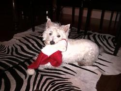 Doogen, chien West Highland White Terrier