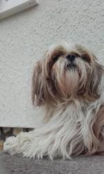 Dooku, chien Shih Tzu