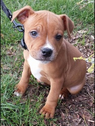 Dooky, chien Staffordshire Bull Terrier