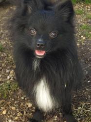 Dooky, chien Spitz allemand