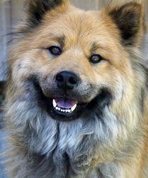 Doolally Belak Des Légendes De Retz, chien Eurasier