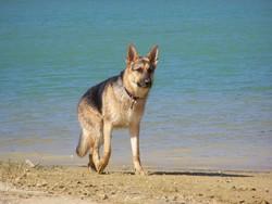 Doom, chien Berger allemand