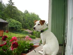 Dooty, chien Jack Russell Terrier