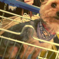 Doowi, chien Yorkshire Terrier