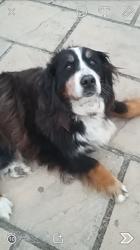 Dora, chien Bouvier bernois