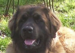 Dora, chien Leonberger
