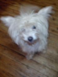 Dora, chien Bichon maltais