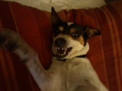 Dora, chien Jack Russell Terrier