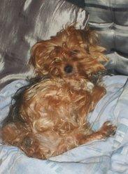 Dora, chien Yorkshire Terrier