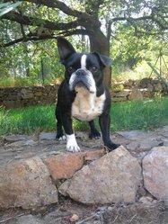 Dora, chien Bouledogue français
