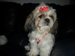 Dora, chien Shih Tzu