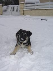 Dora Repose En Paix, chien Berger allemand