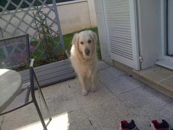 Dora, chien Golden Retriever