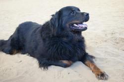 Dora, chien Rottweiler