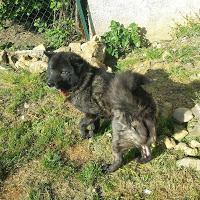 Dora, chien Husky sibérien