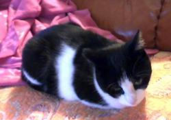 Dorat  , chat Gouttière