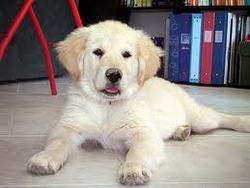 Doré, chien Golden Retriever