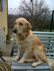 Doria, chien Golden Retriever