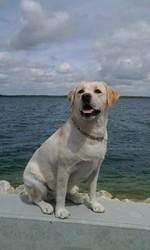 Doriane, chien Labrador Retriever