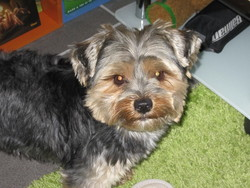 Dorie, chien Yorkshire Terrier