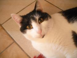 Dorien, chat Européen