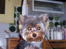 Doris, chien Yorkshire Terrier