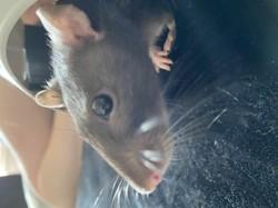 Doris, rongeur Rat