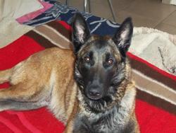 Dorka, chien Berger belge