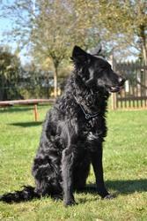 Dorka, chien Mudi
