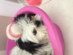 Dory, chien Pékinois