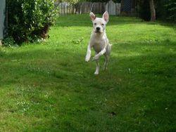 Dosco, chien Dogue argentin