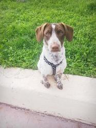 Dotty, chien Épagneul breton